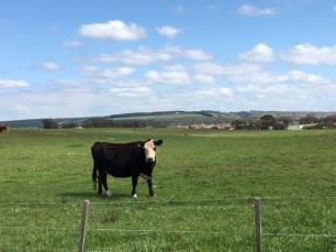 cows-near-school